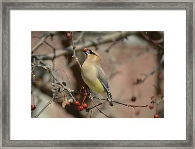 Cedar Waxwing In Winter Framed Print