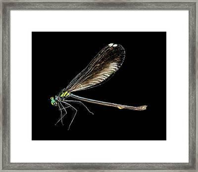 Ebony Jewelwing Damselfly Framed Print by Us Geological Survey