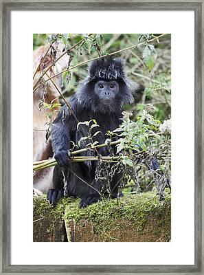 Ebony Leaf Monkey Framed Print by Duncan Usher