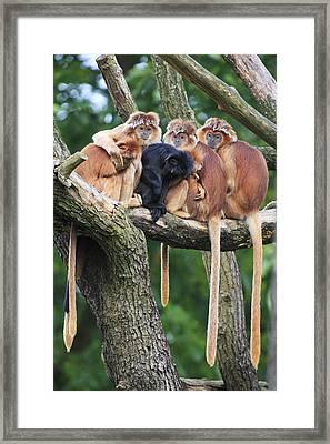 Ebony Leaf Monkey Family Framed Print by Duncan Usher