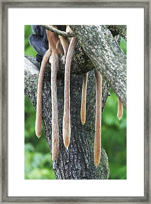 Ebony Leaf Monkey Tails Framed Print by Duncan Usher