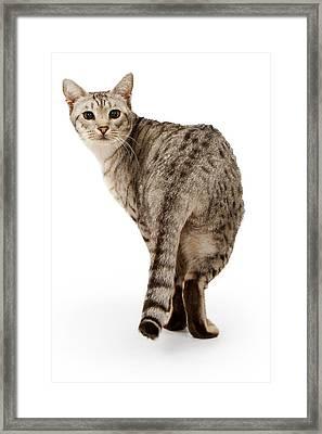 Ebony Silver Ocicat Isolated On White Framed Print by Susan Schmitz