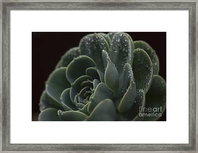 Echeveria Elegans X Lola - Crassulaceae Framed Print by Sharon Mau