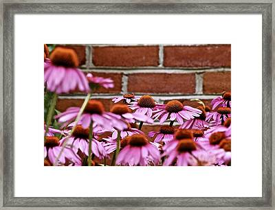 Echinacea And Brick Wall Framed Print