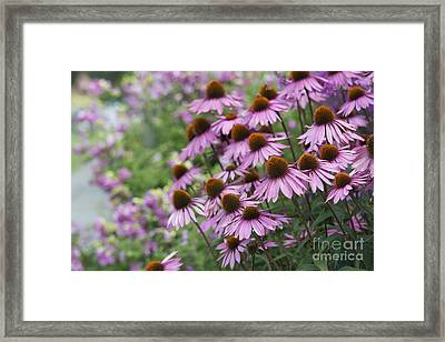 Echinacea Purpurea Rubinglow Framed Print by Tim Gainey