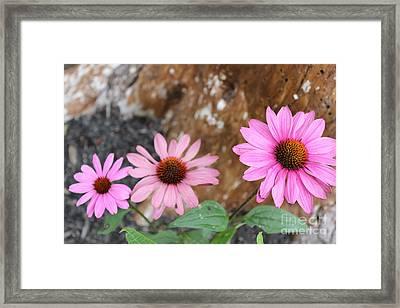 Echinacea Framed Print by Jesslyn Fraser