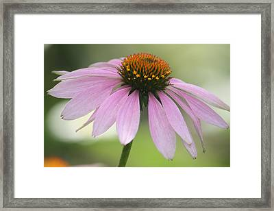 Echinacea Pink Coneflower Framed Print by Penny Hunt