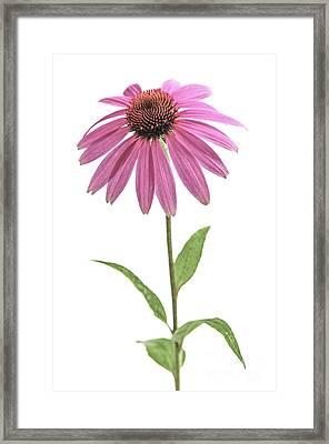 Echinacea Purpurea Flower Framed Print by Elena Elisseeva