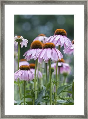 Echinacea Purpurea Framed Print by Juli Scalzi