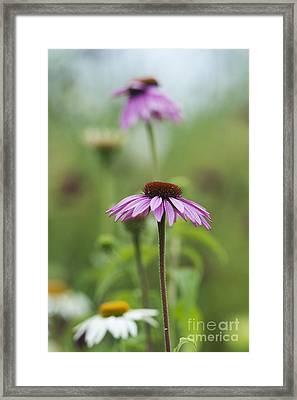 Echinacea Purpurea Magnus  Framed Print by Tim Gainey