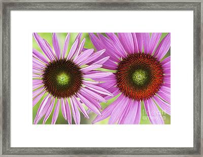 Echinacea Purpurea Rubinglow Pattern Framed Print by Tim Gainey