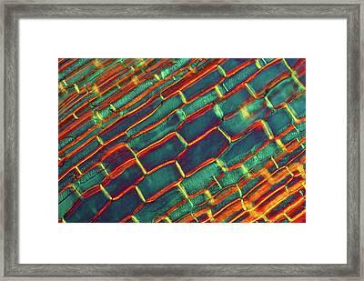 Echinacea Stem Framed Print by Marek Mis