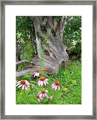 Echinacea Stumpage Framed Print