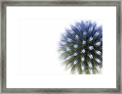 Echinops  Framed Print