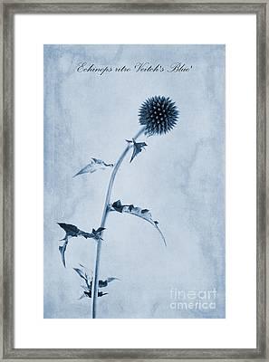 Echinops Ritro 'veitch's Blue' Cyanotype Framed Print by John Edwards