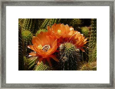 Echinopsis Huascha Cactus Trio Framed Print by Cindy McDaniel