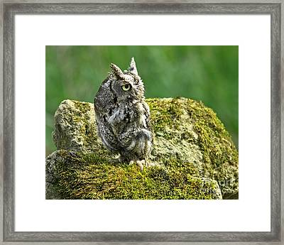 Echo Of An Eastern Screech Owl  Framed Print by Inspired Nature Photography Fine Art Photography