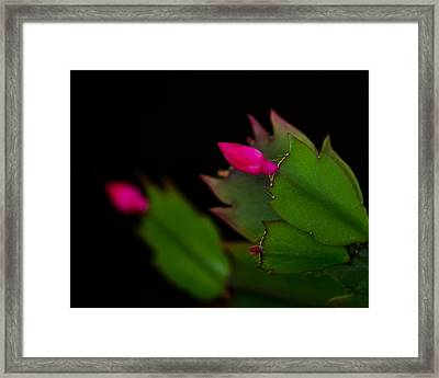 Echoing Christmas Cactus Buds Framed Print by Rona Black