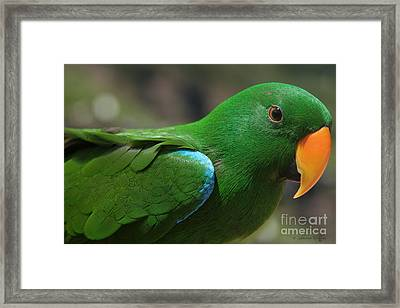 Eclectus Roratus Framed Print by Sharon Mau