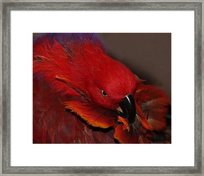 Eclectus Victoria Framed Print