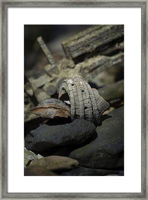 Framed Print featuring the photograph Ecphora Gardnerae by Rebecca Sherman