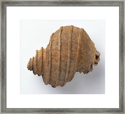 Ecphora Quadricostata Sea Snail Framed Print by Dorling Kindersley/uig