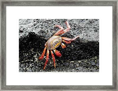 Ecuador, Galapagos, Floreana, Punta Framed Print by Cindy Miller Hopkins