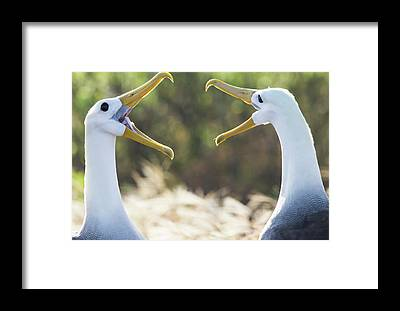 Waved Albatross Framed Prints