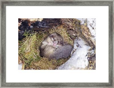 Edible Dormouse Sleeping Framed Print