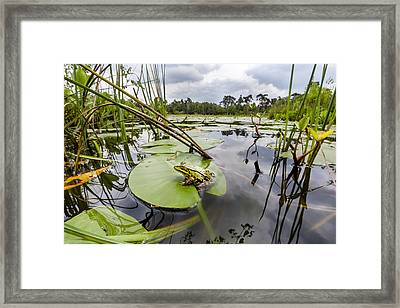 Edible Frog On Lily Pad Overijssel Framed Print by Alex Huizinga
