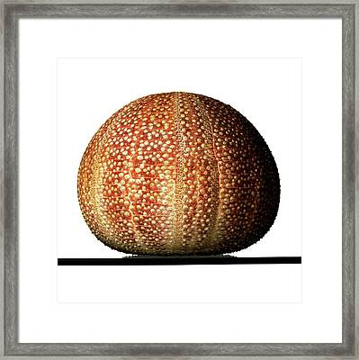 Edible Sea Urchin Specimen Framed Print by Ucl, Grant Museum Of Zoology