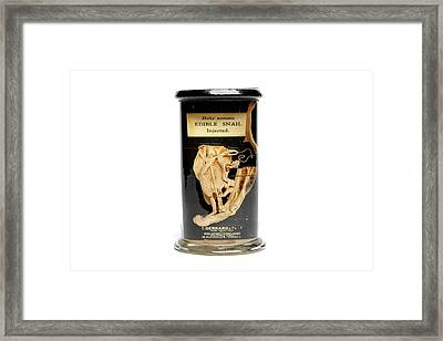 Edible Snail Specimen Framed Print by Gregory Davies