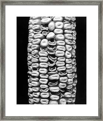 Effects Of Irradiation On Corn Framed Print