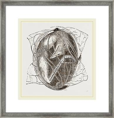 Egg On Eighteenth Day With Vesicle Partly Removed Framed Print by Litz Collection