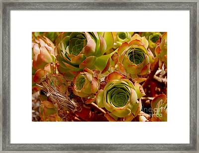 Eggplant Blossoms Framed Print by Andrea Aycock