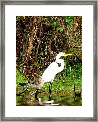 Egret And Ducks 2 Framed Print by Will Boutin Photos