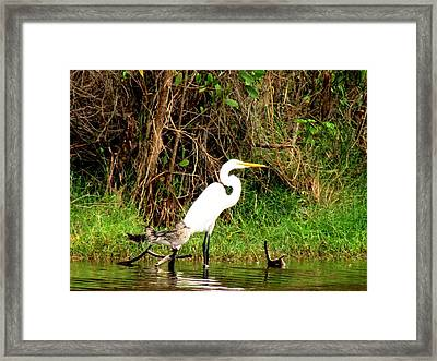 Egret And Ducks Framed Print by Will Boutin Photos