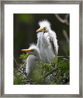Egret Chicks 11x14 Framed Print by David Lynch