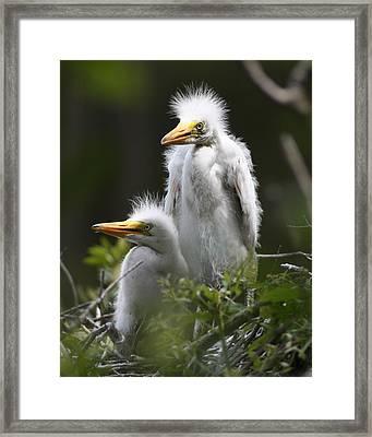 Egret Chicks 8x10 Framed Print by David Lynch