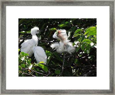 Egret Chicks Framed Print