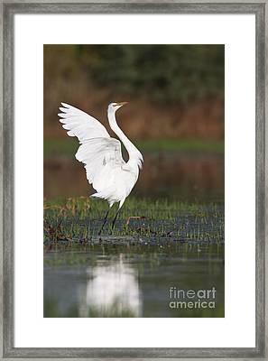 Egret Dancing Framed Print by Bryan Keil