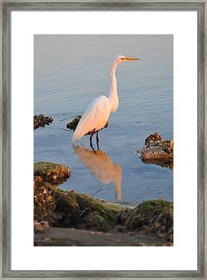 Egret - Dunedin Florida Framed Print by Bill Cannon