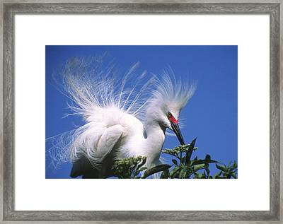 Egret Finery Framed Print by Elvira Butler