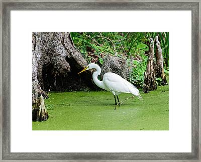 Egret Fishing Framed Print by John Johnson