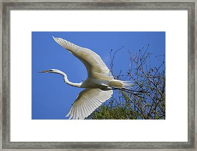 Egret Flying Framed Print