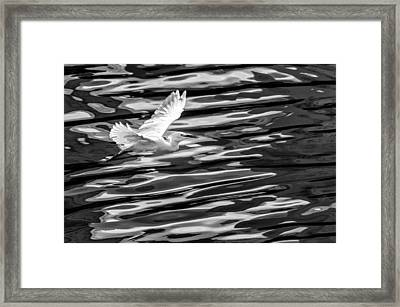 Egret Flying  Framed Print by Jose Maciel