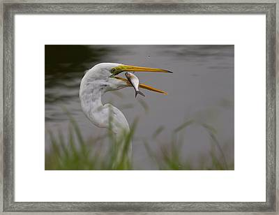 Framed Print featuring the photograph Egret Having Lunch by Jerry Gammon