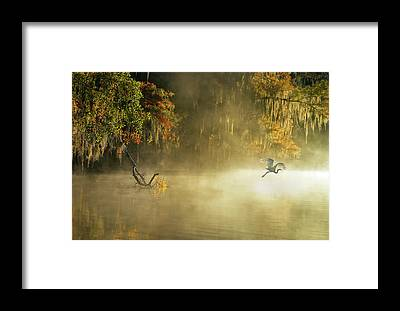 Egrets Framed Prints