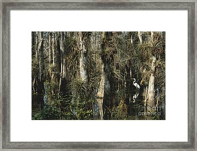 Egret In Big Cypress Framed Print by Mark Newman