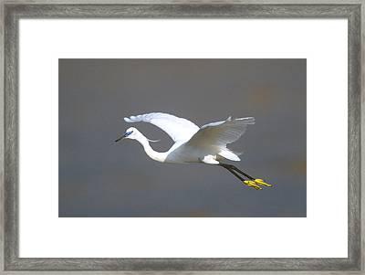 Egret In Flight Kenya Africa Framed Print by Panoramic Images